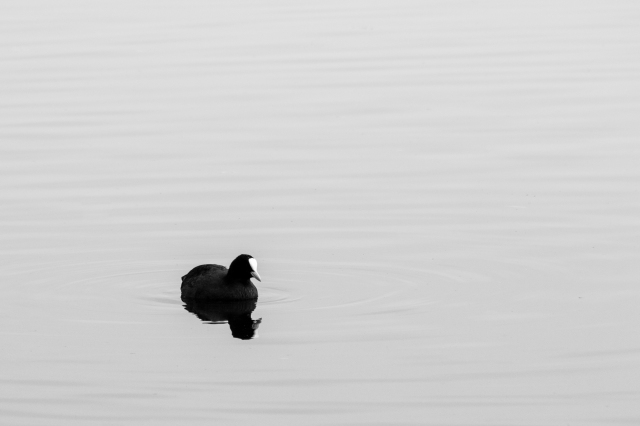 Coot in black and white