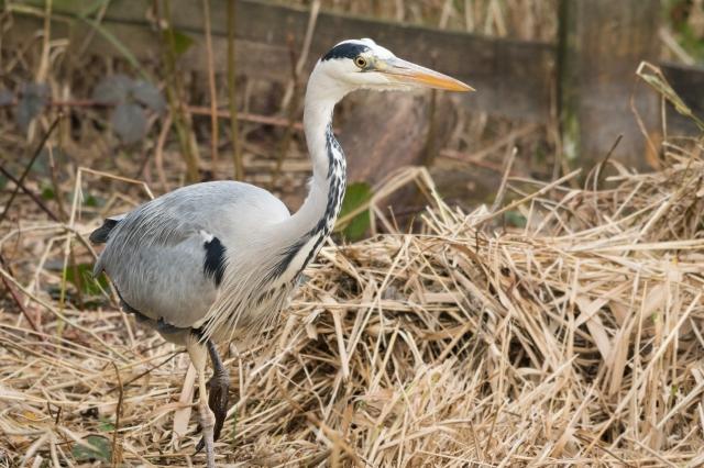 A grey heron walks past me