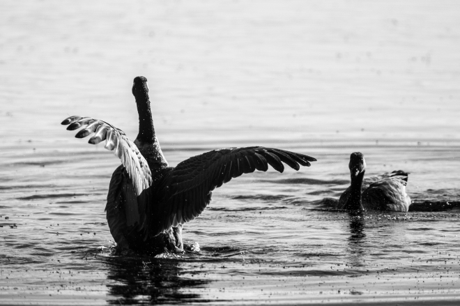 Geese in black and white
