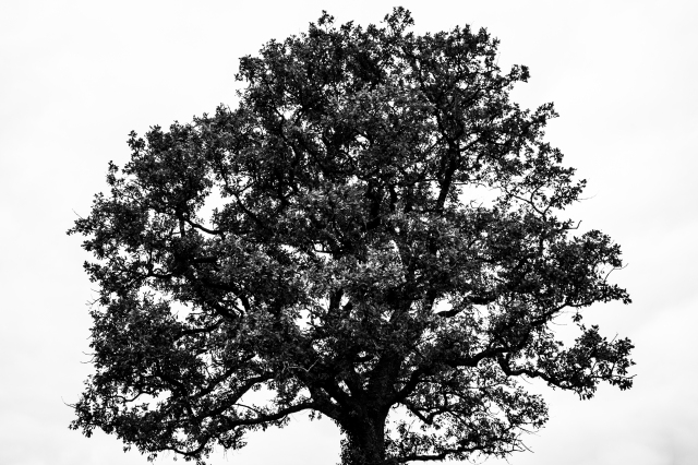 Oak in black and white