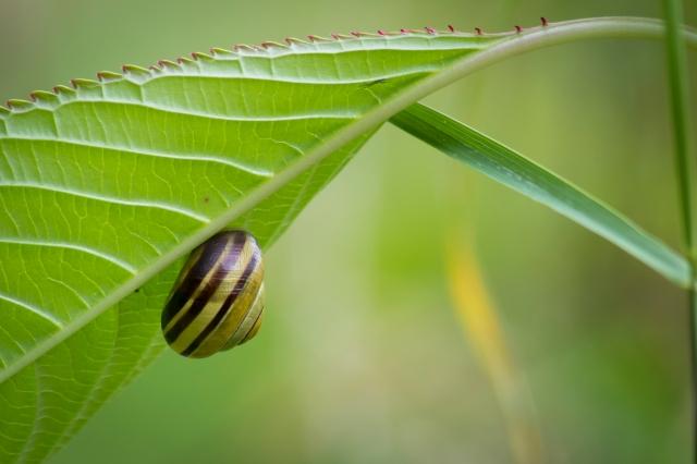 Snail Underleaf