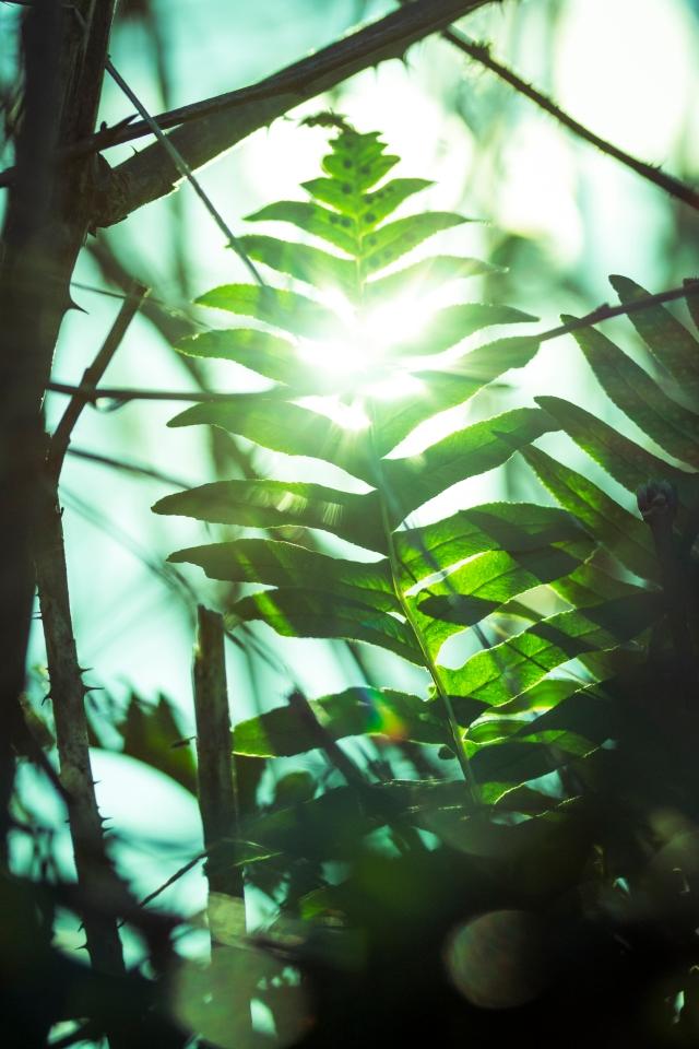 Sun through the fern
