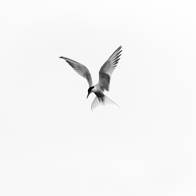 An angel of death - a common tern hunting